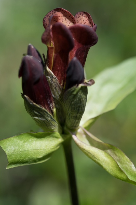 Genziana purpurea