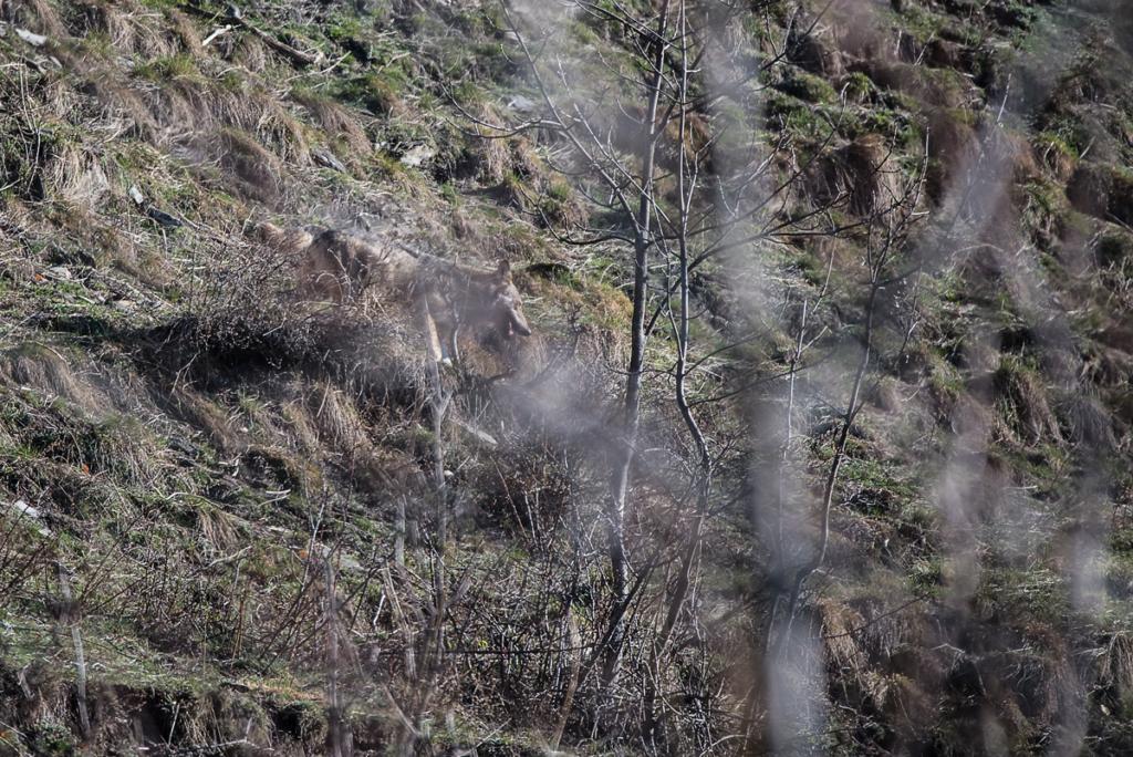 lupo, montagna, fotografia naturalistica, gravida, emozione